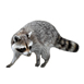 _0002_slider_raccoon