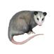 _0004_possum