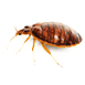 _0015_bed-bug